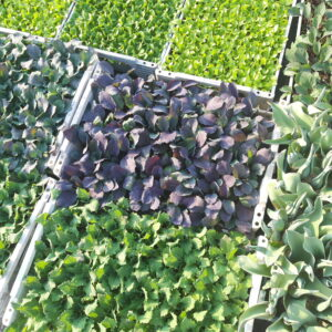 Gemüse - Pflanzen